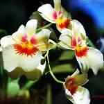 """Orchid Chorus"" by mattiebryant"