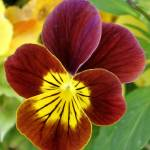 """Yellow & Burgandy Pansy"" by Terriair"