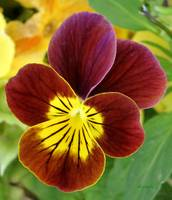 Yellow & Burgandy Pansy