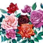 """Roses"" by allinghamcarlson"