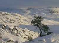 Rugged Tree and Winter Landscape