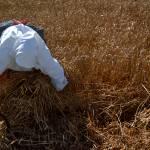 """In the fields of wheat III"" by mashone"