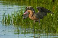 Beautiful Reddish Egret
