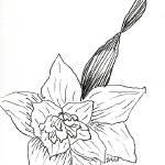 """Daffodil"" by julia_art"