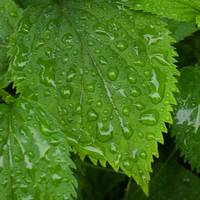 Rainy Leaves 1