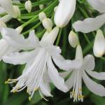"""White Agapanthus"" by jrotem"
