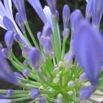 """Purple  Agapanthus"" by jrotem"