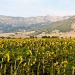 """Bridger Sunflowers - Panoramic"" by timleonhardt"
