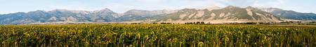 Bridger Sunflowers - Panoramic