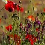 """""""poppies doing their thing"""" by teresapople"""