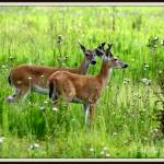 """White Tail deer young doe and buck"" by BABowenphotography"