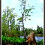 """Bald Cypress on the Waccasassa River"" by BABowenphotography"