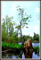 Bald Cypress on the Waccasassa River