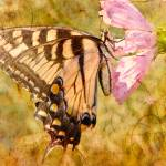 """""""Old Warrior Monarch Butterfly"""" by ChrisLord"""