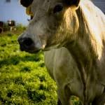 """""""White Cow"""" by julieann"""