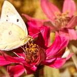 """""""Textured Yellow Butterfly"""" by ChrisLord"""