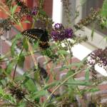 """Butterfly Bush"" by swantail"