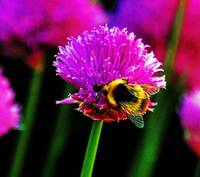 Honey Bee on chives