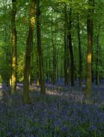 Bluebells Chilterns UK
