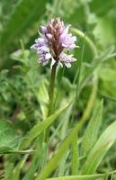 Common Spotted Orchid 35