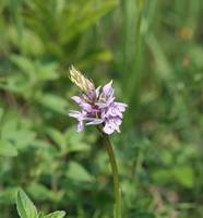 Common Spotted Orchid 20