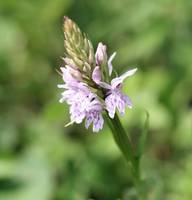 Common Spotted Orchid 14