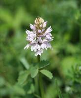 Common Spotted Orchid 11