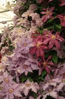 Clematis floral display