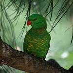 """Scaly Breasted Lorikeet"" by TimJHarper"