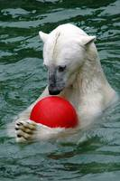 Ice Bear playing with red ball