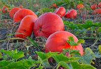 fire red pumpkins