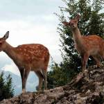 """young Deers at the Deerpark Goldau Switzerland"" by baechlergallery"