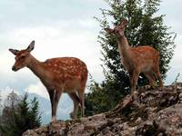 young Deers at the Deerpark Goldau Switzerland