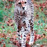 """Cheeta in the Wild"" by baechlergallery"