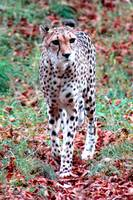 Cheeta in the Wild