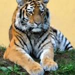 """beautiful Siberian Tiger in Vienna Zoo"" by baechlergallery"