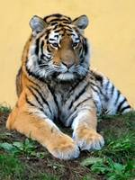 beautiful Siberian Tiger in Vienna Zoo