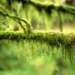 """Mossy Tree Branch"" by MichelleLambert"