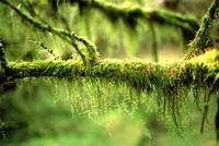 Mossy Tree Branch