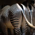"""Zebra Behinds"" by johncorney"
