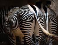 Zebra Behinds