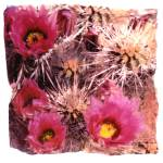 """Strawberry Hedgehog Cactus"" by JoanneNetland"