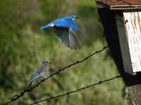 Mountain Bluebird ... IMG_1093