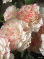 Almost White Carnations 7