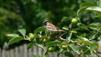 House Finch on Persimmon tree