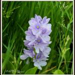 """Purple Water Hyacinth"" by BABowenphotography"