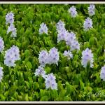 """Water Hyacinths 2"" by BABowenphotography"