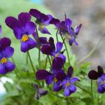 """""""VIOLETS  IN THE YARD"""" by pjaysart"""