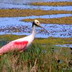"""Roseate Spoonbill"" by ChrisCrowley"