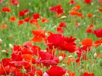 Flower Meadow Poppies Red Oriental Poppy